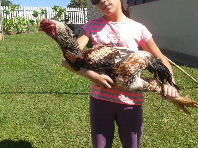 Ayam Shamo