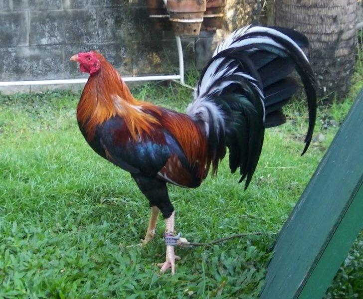 Ayam Filipina