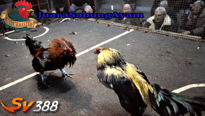 Cara Bermain Sabung Ayam Online SV388