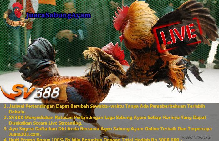 Jadwal Sabung Ayam Online Online S128, 11 Desember 2016