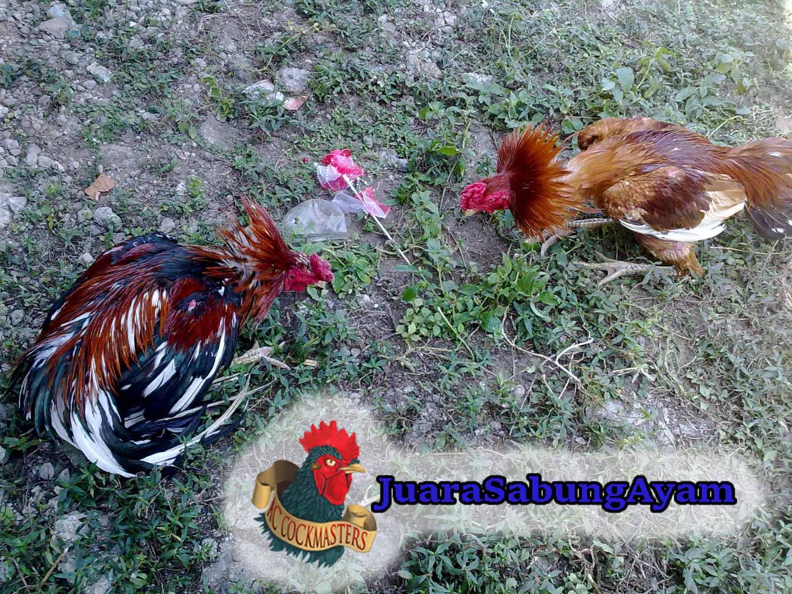 Pengobatan Sabung Ayam Lumpuh
