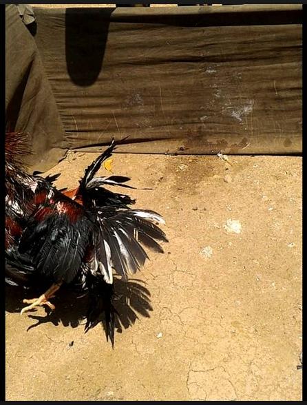 Tips Ampuh Untuk Melatih Stamina Ayam Aduan Bertahan Lama