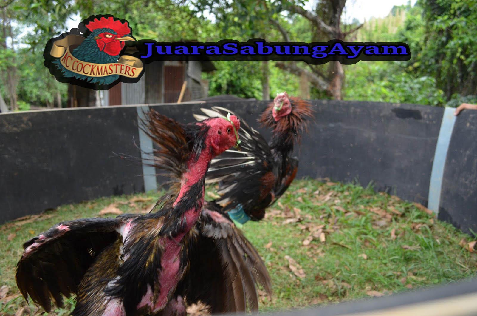 Pengobatan Ayam Penyakit Ayam berak Putih dan Darah