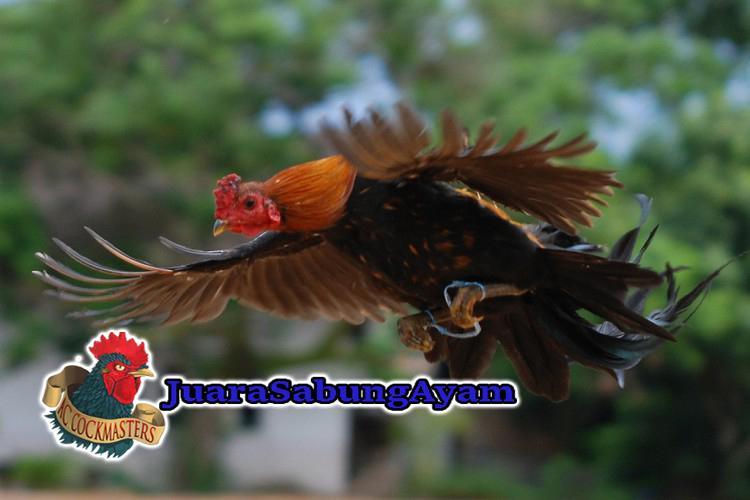 Ayam Laga Paling Populer di Seluruh Dunia