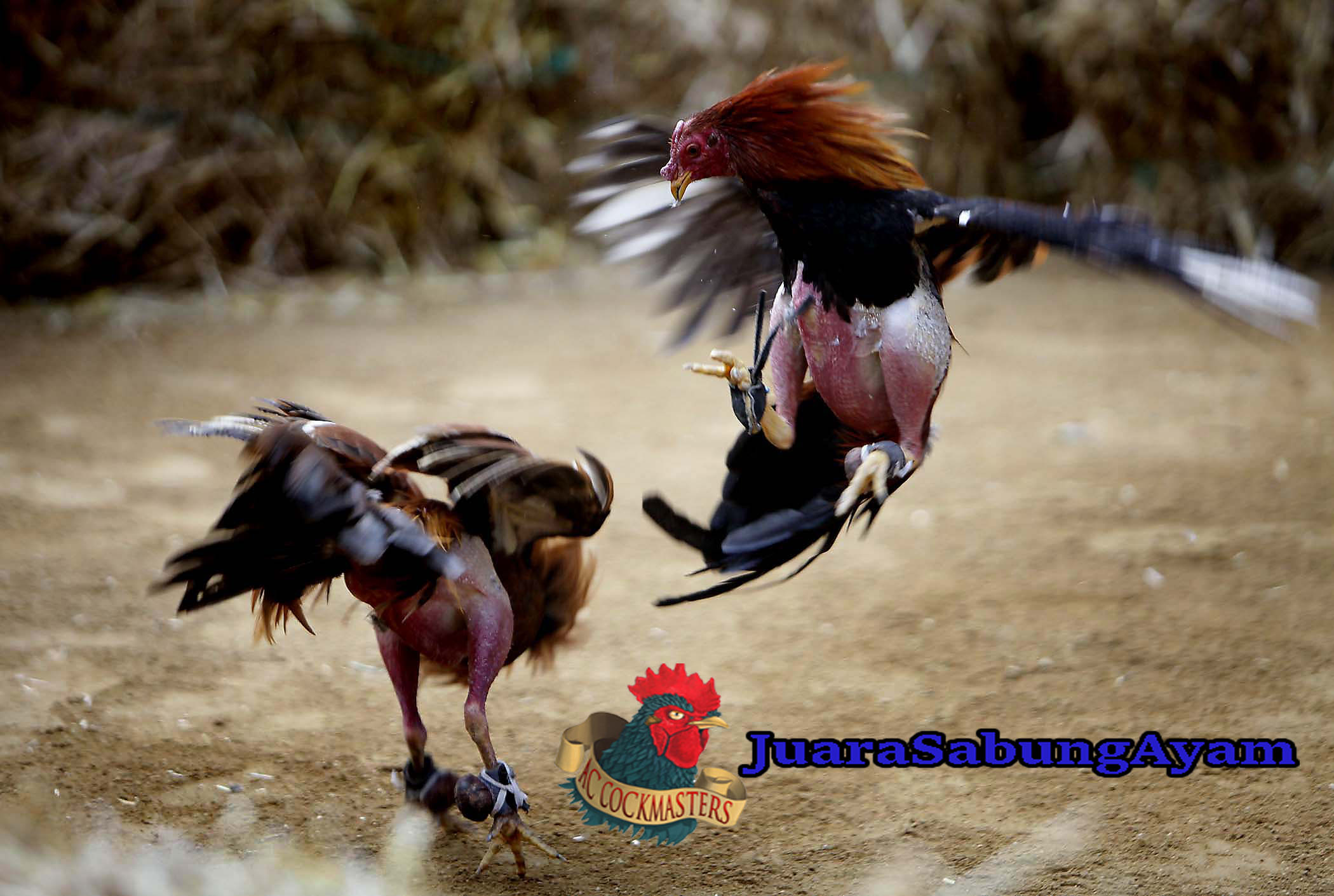 5 Kelebihan Ayam Vietnam Saat Berlaga Di Arena
