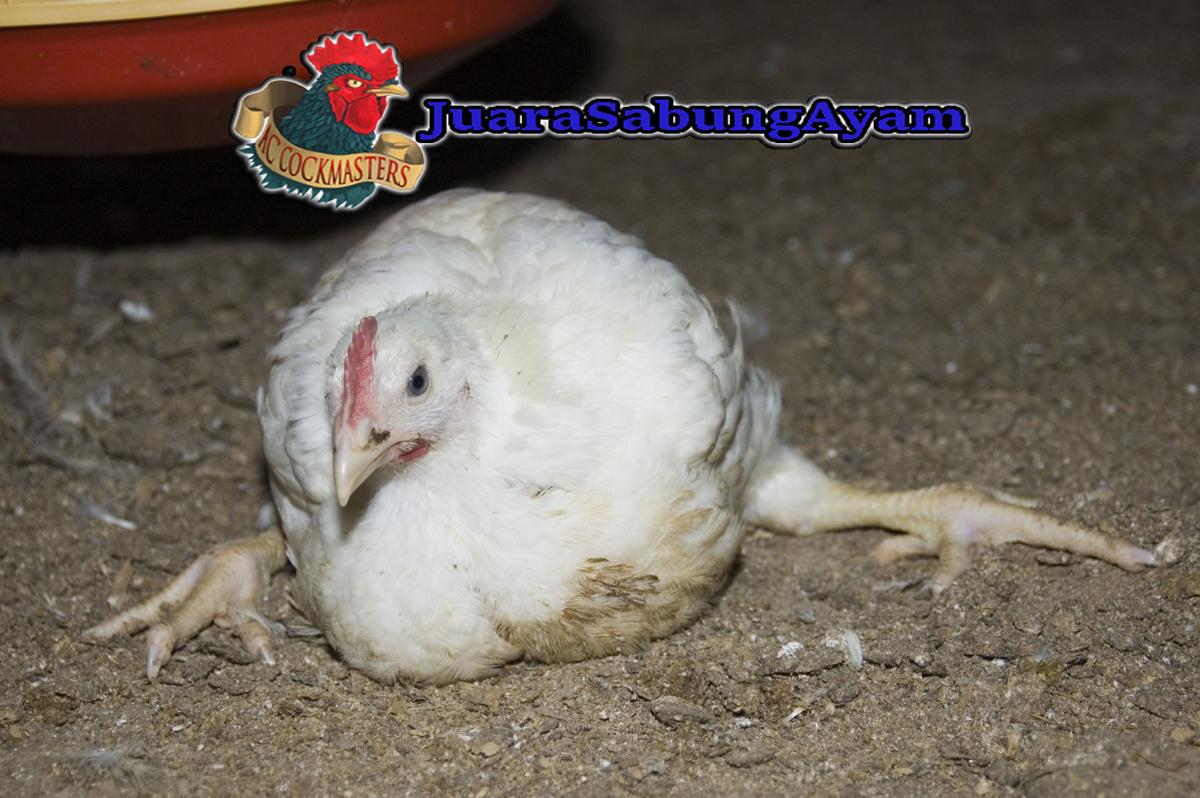 Pengobatan Ayam Penyakit Toleto