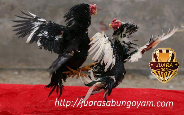 Beberapa Cara Merawat Ayam Bangkok Aduan Sampai Siap Tarung