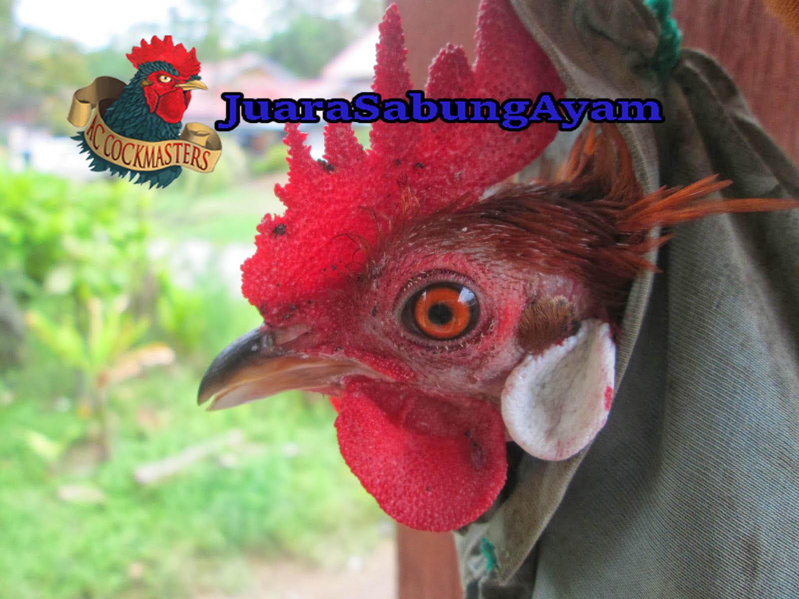 Cara Mengobati Ayam Kena Jalu