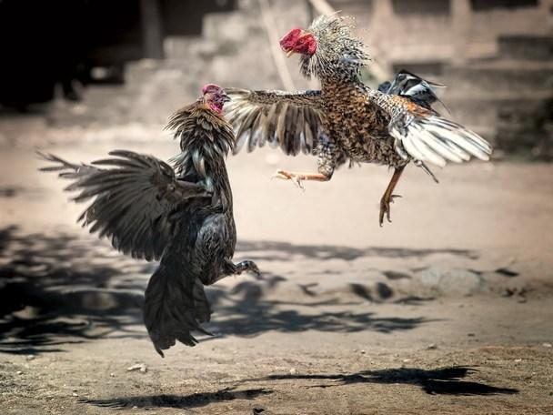 Mengatasi Penyakit Ayam Ngorok