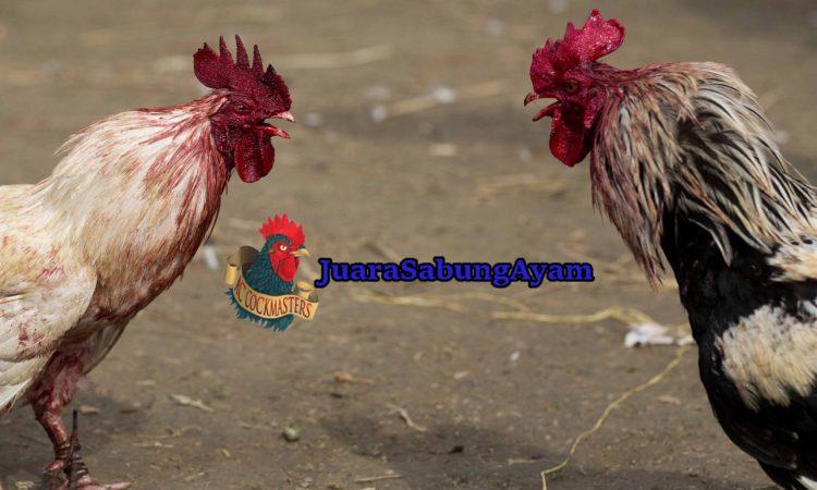 Sebab Ayam Bangkok Tidak