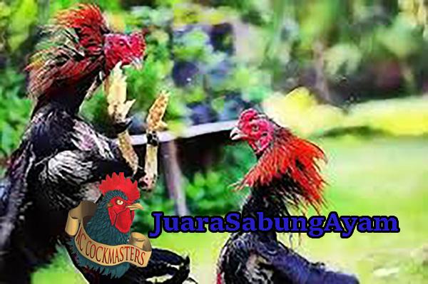 Cara Melatih Ayam Bangkok Sehingga Menjadi Petarung Handal