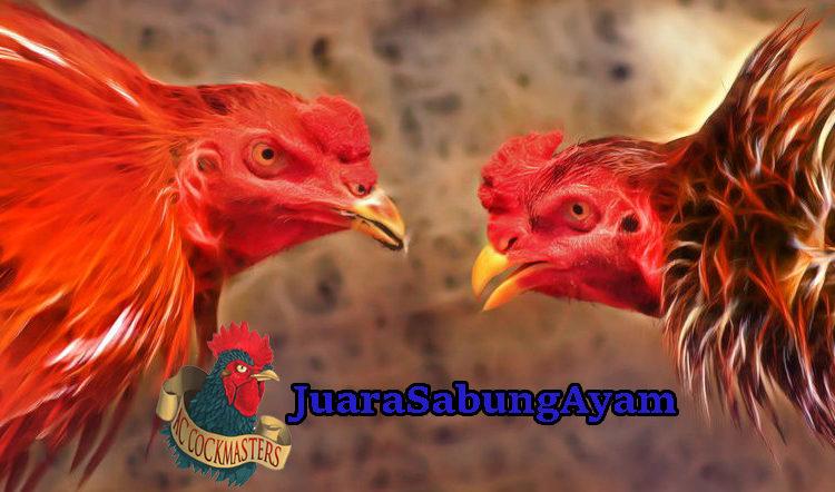 Tips Pemberian Pakan Ayam