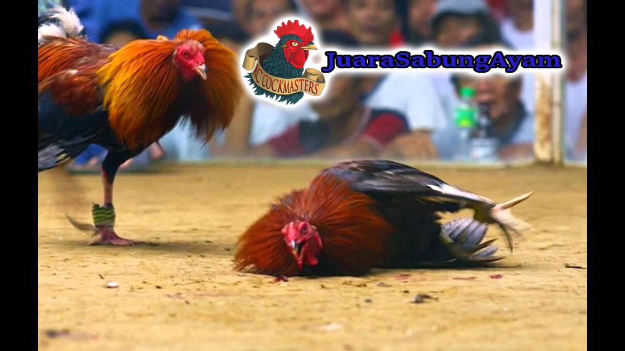 Resep Obat Ayam Ngorok Tradisional Yang Paling Manjur