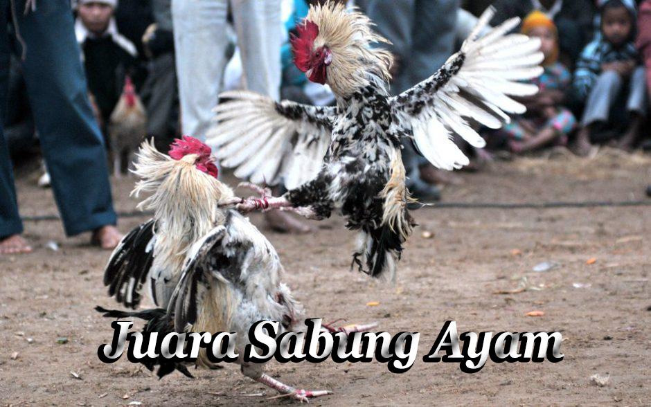 Cara Mengatasi Nafsu Ayam Bangkok Berkurang