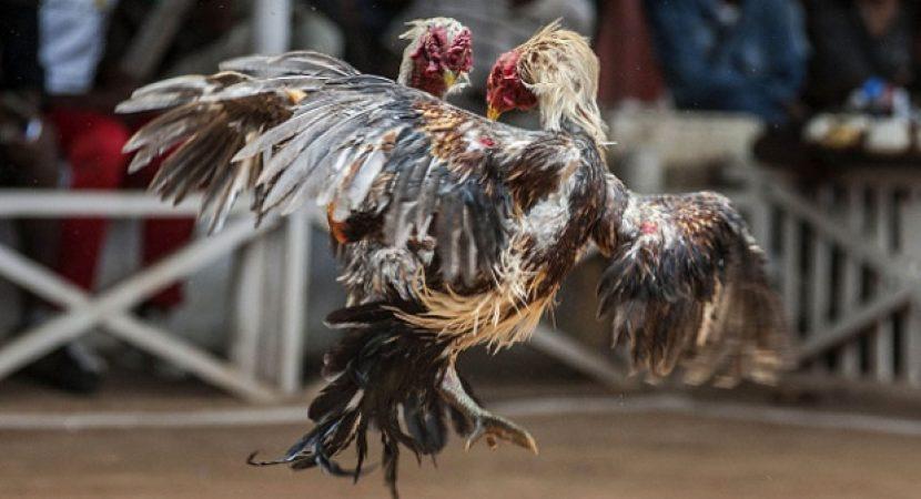 Mengatasi Penyakin Ayam Ngurak