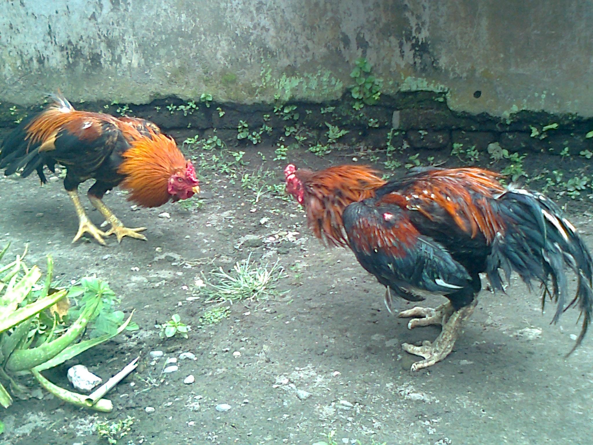 Sabung Ayam Online : Memendekkan/Memotong Jalu