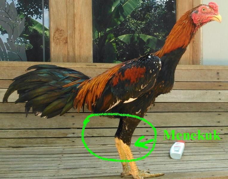 Ciri-Ciri Kaki Ayam Kuat dan Pukul Keras