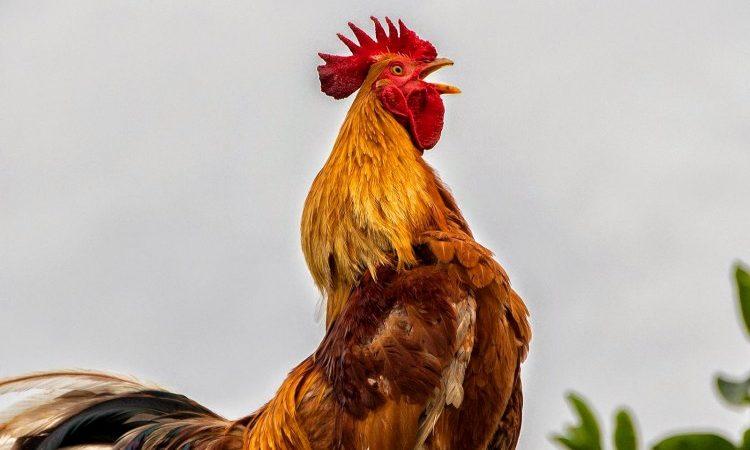 Tradisi Sabung Ayam Di