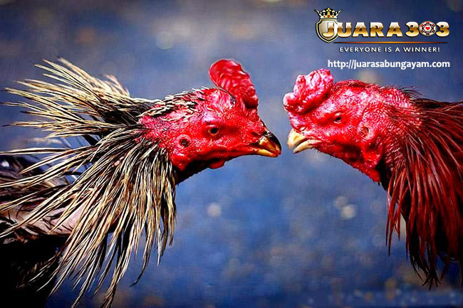 Tips Perawatan & Pemulihan Ayam