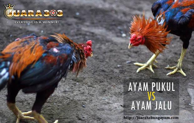 Perbedaan Fisik Ayam Aduan