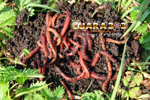 Manfaat Cacing Tanah Untuk