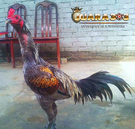 Mengenal Ayam Panus Leluhurnya