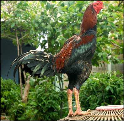 Beberapa Ciri Ayam Bangkok Istimewa Yang Dirahasikan Botoh Tua