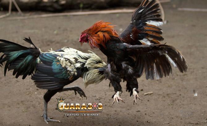 Cara Merawat Ayam Bangkok