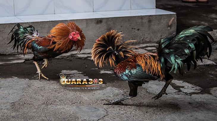 cara mengenali ayam bangkok siap tarung