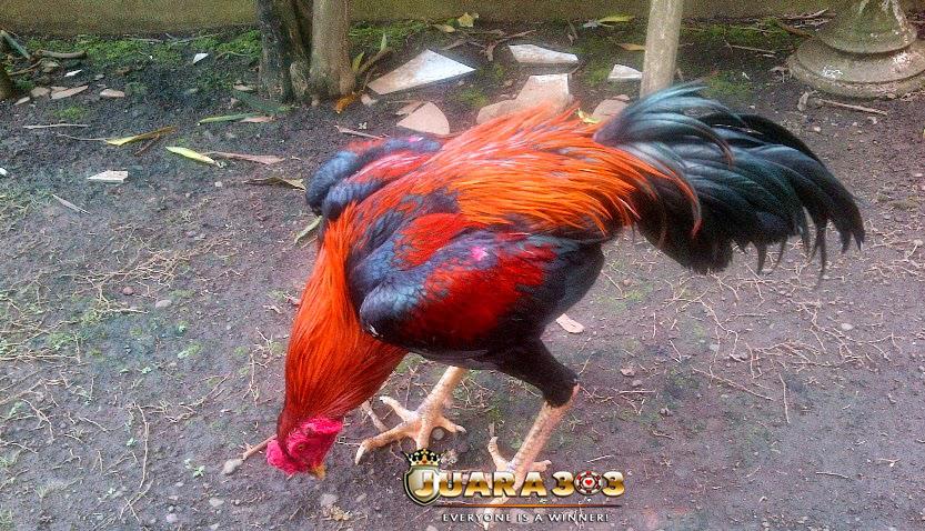 Meningkatkan Kesehatan Ayam Aduan