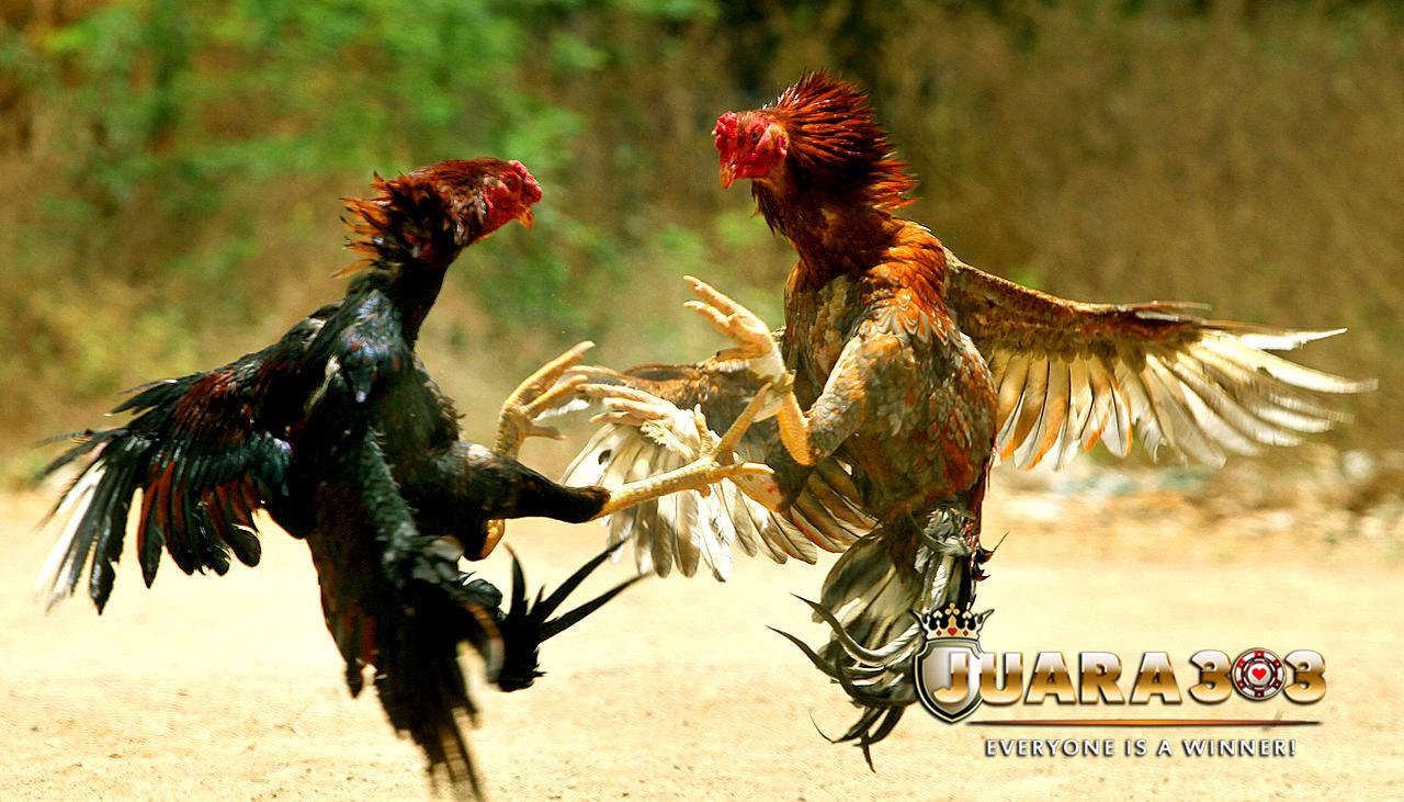 Faktor Membuat Ayam Bangkok yang Siap Tarung