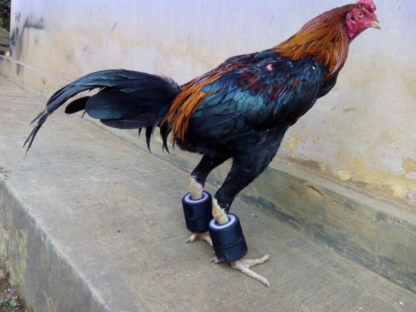 Terungkap! Kekuatan Yang Paling Penting Untuk Ayam Sabung