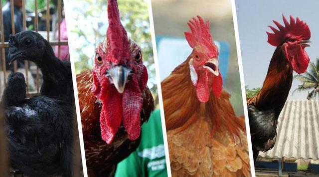 Cara Untuk Kawin Silang Sabung Ayam Terbaik