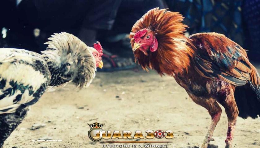 Ayam termahal