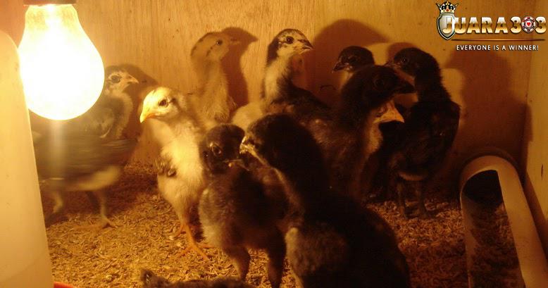 alternatif-merawat -anakan -ayam-dengan-cara-disapih