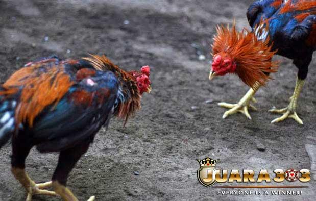 ayam terkebal