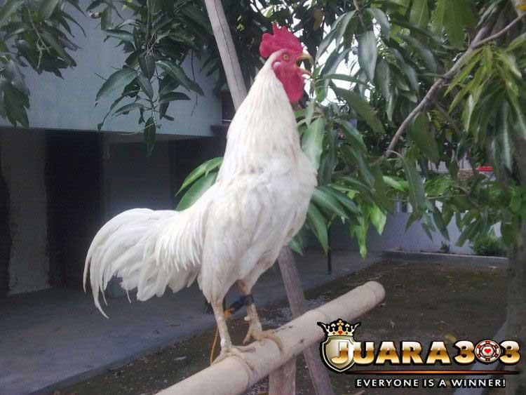 ayam ules putih