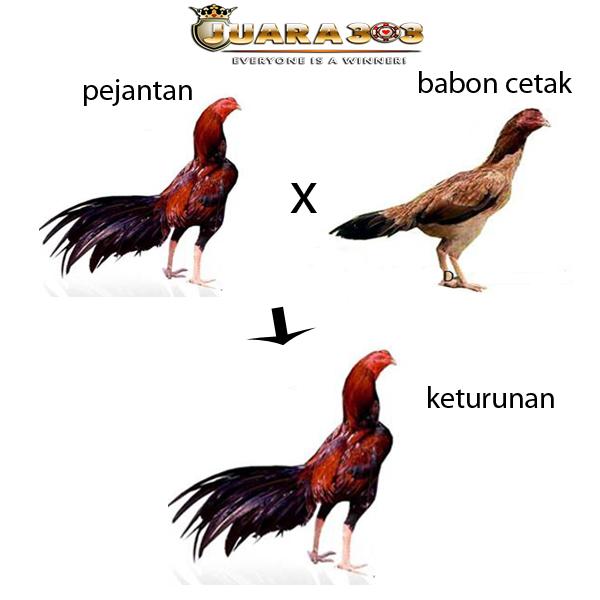 Beberapa Jenis Ayam Bangkok Berkualitas Sebagai Indukan