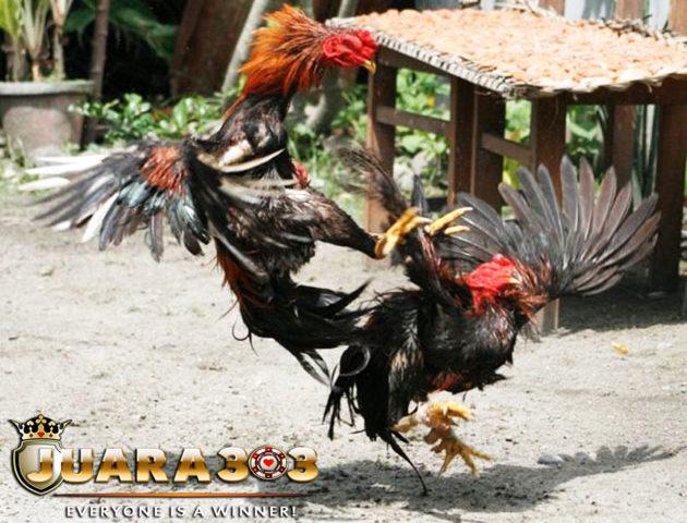 Dua Kekuatan Ayam