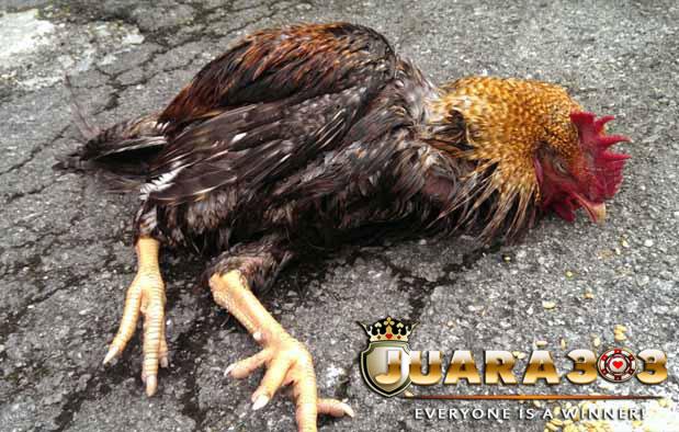 Penyakit Ayam Aduan