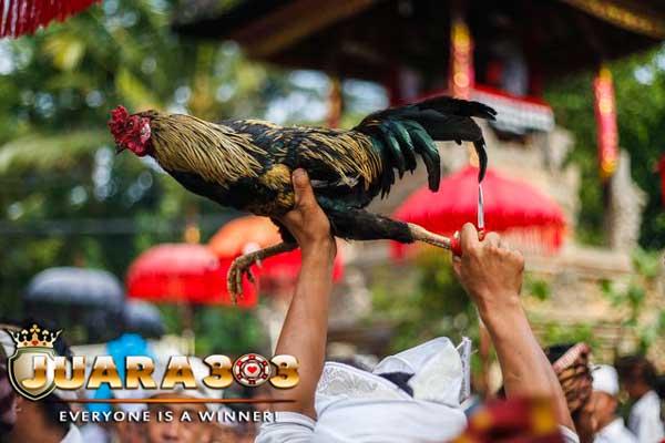 Tabuh Rah Tajen bukanlah Sekedar Judi Sabung Ayam di Bali