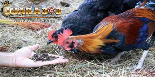 Pertumbuhan anak ayam