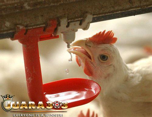 Manfaat Pemberian Air Sewaktu Laga Sabung Ayam