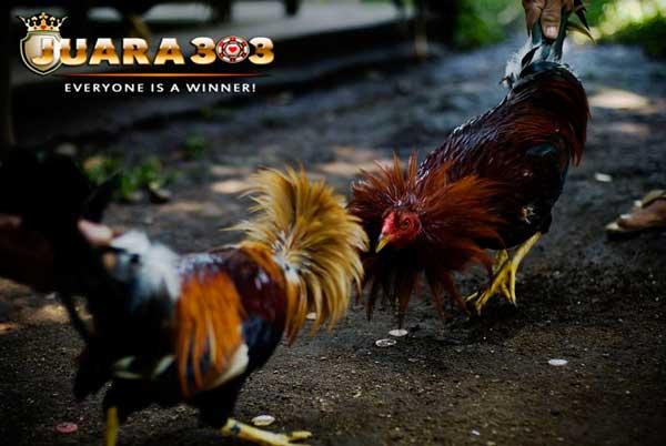 Alasan Mengapa Gaya Tarung Ayam Aduan Berubah Saat di Dalam Arena