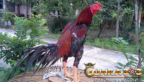 Melatih Ayam Aduan agar Memiliki Otot Kuat - Sabung Ayam Online
