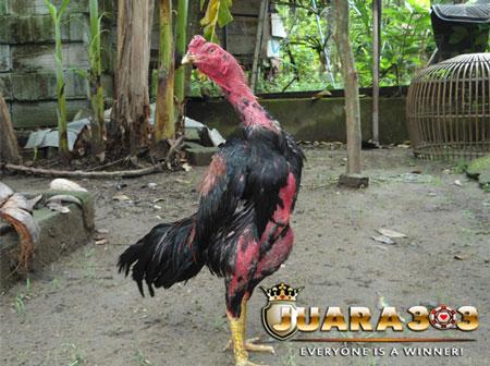 Membuat Badan Ayam Aduan agar Cepat Merah - Sabung Ayam Online