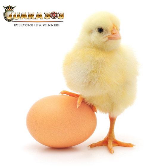 Tips Memilih Anakan Ayam Bangkok yang Berkualitas