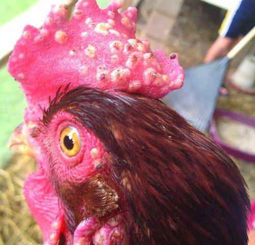 Penyakit Ayam Aduan yang di Sebabkan oleh Virus