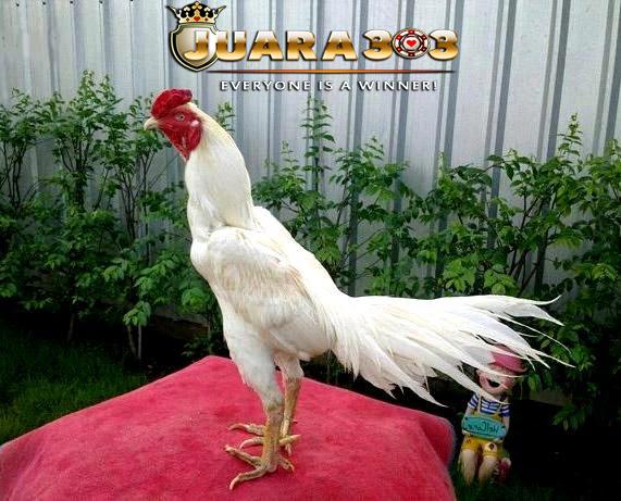 Beberapa Mitos Sabung Ayam Bangkok Putih ( Kinantan )
