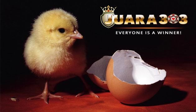 Perawatan Anak Ayam Bangkok - Sabung Ayam Online